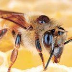 Бджолиний укус